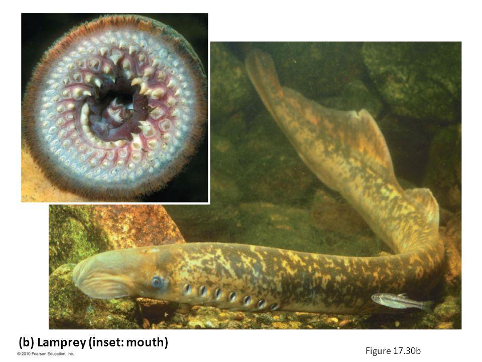 (b) Lamprey (inset: mouth) Figure 17.30b