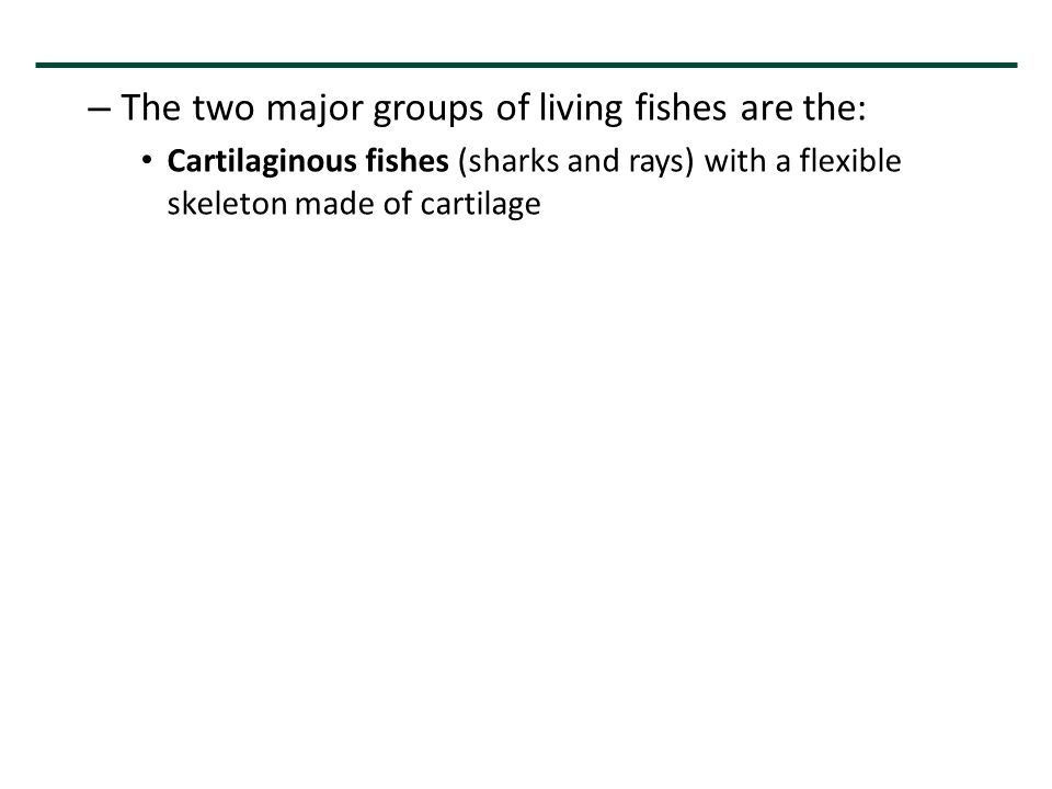 – The two major groups of living fishes are the: Cartilaginous fishes (sharks and rays) with a flexible skeleton made of cartilage