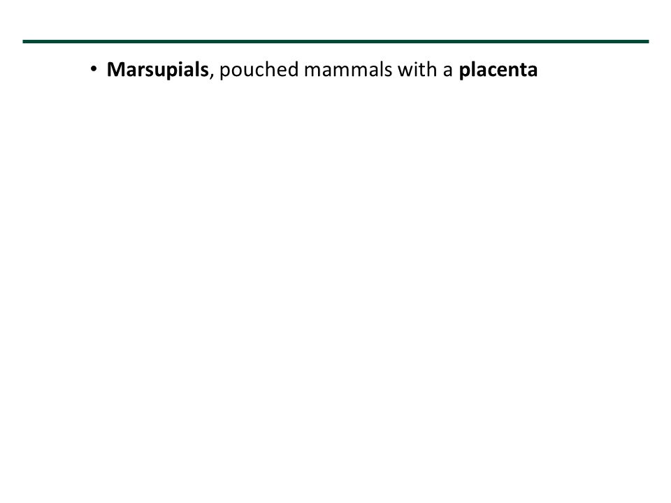 Marsupials, pouched mammals with a placenta