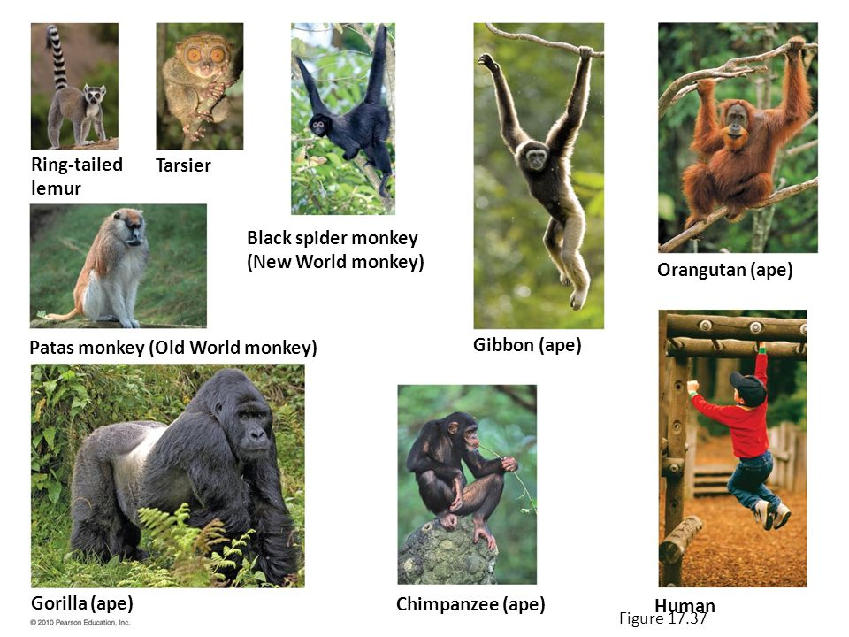 Ring-tailed lemur Tarsier Black spider monkey (New World monkey) Patas monkey (Old World monkey) Gorilla (ape) Gibbon (ape) Chimpanzee (ape) Orangutan (ape) Human Figure 17.37