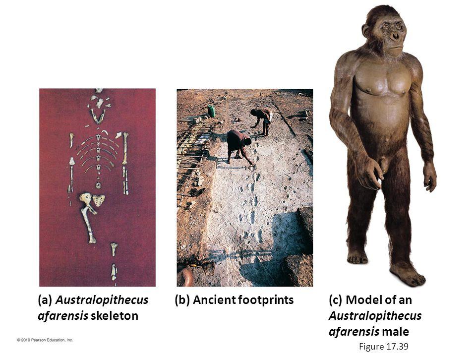 (a) Australopithecus afarensis skeleton (b) Ancient footprints(c) Model of an Australopithecus afarensis male Figure 17.39