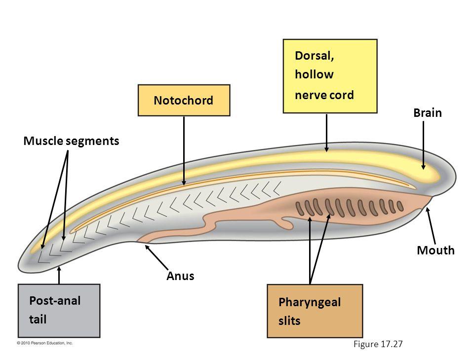 (d) Bony fish Lateral line Operculum Figure 17.30d