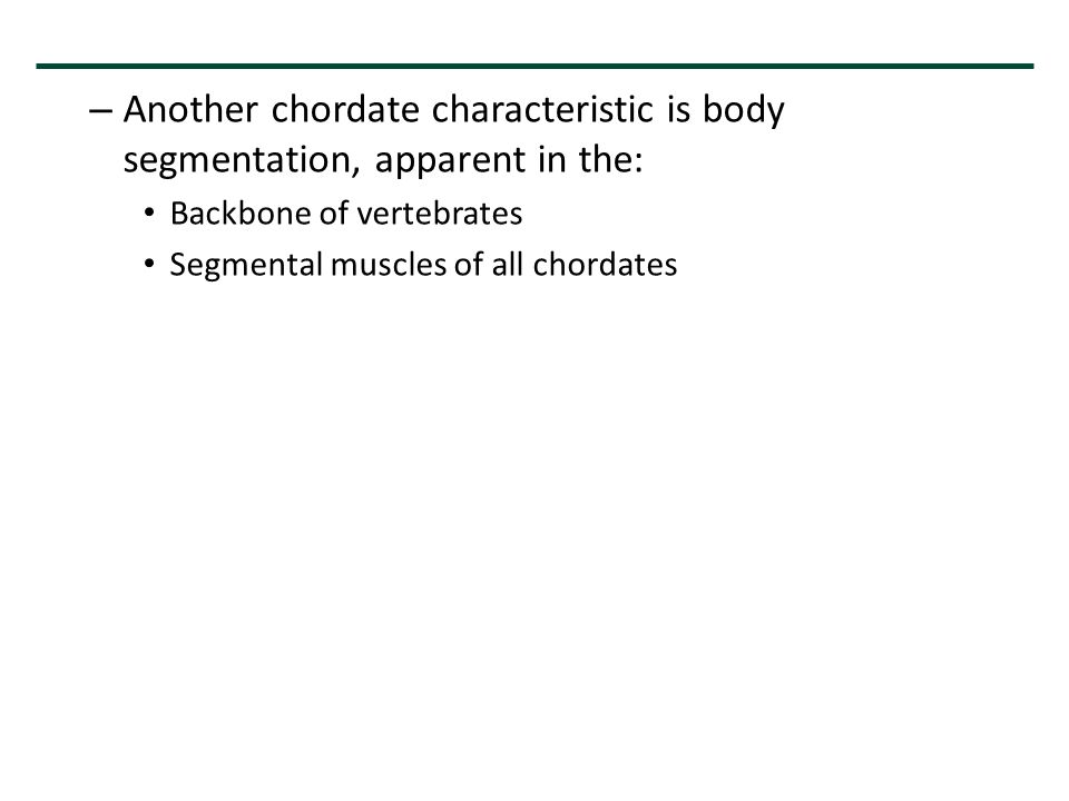 – Another chordate characteristic is body segmentation, apparent in the: Backbone of vertebrates Segmental muscles of all chordates