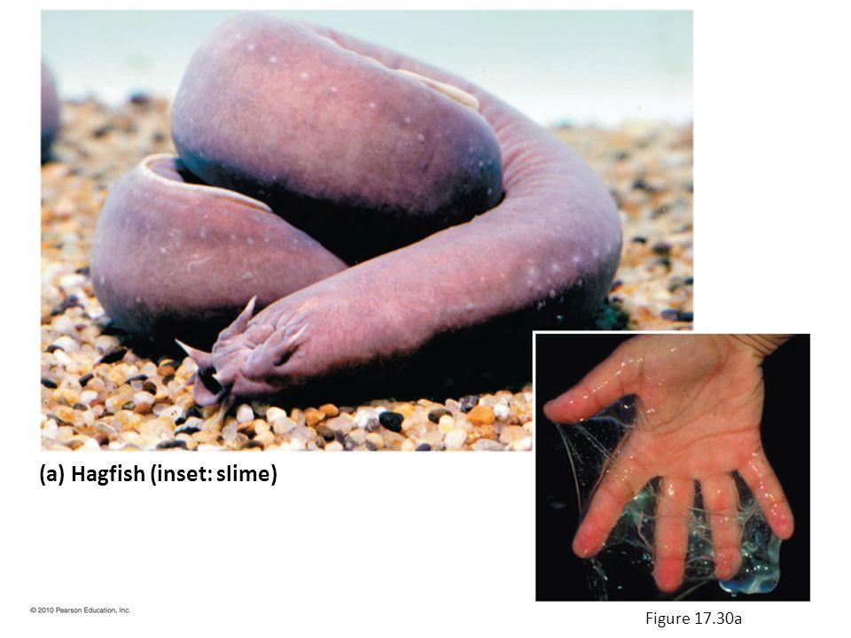 (a) Hagfish (inset: slime) Figure 17.30a