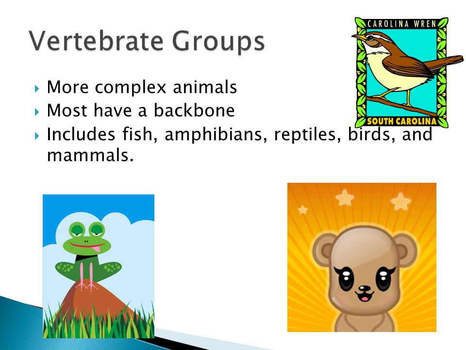  More complex animals  Most have a backbone  Includes fish, amphibians, reptiles, birds, and mammals.