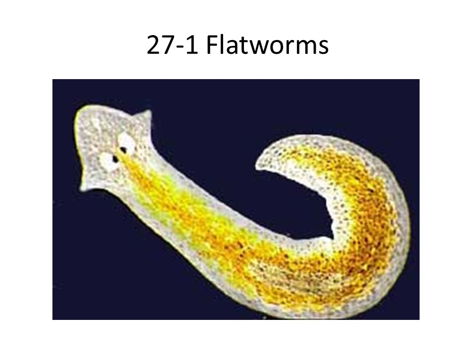 Form and Function in Flatworms Response – In free-living flatworms, a head enclosed ganglia, or groups of nerve cells, that control the nervous system.