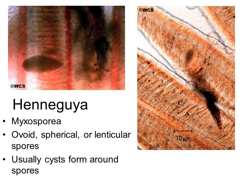 Henneguya Myxosporea Ovoid, spherical, or lenticular spores Usually cysts form around spores