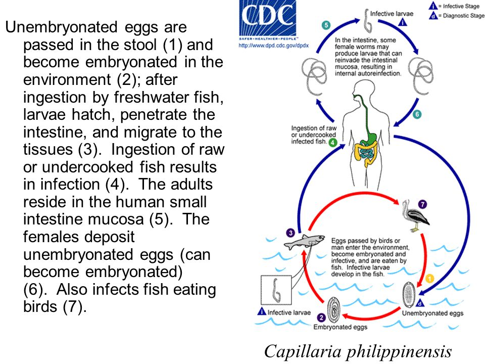 Unembryonated eggs are passed in the stool (1) and become embryonated in the environment (2); after ingestion by freshwater fish, larvae hatch, penetr