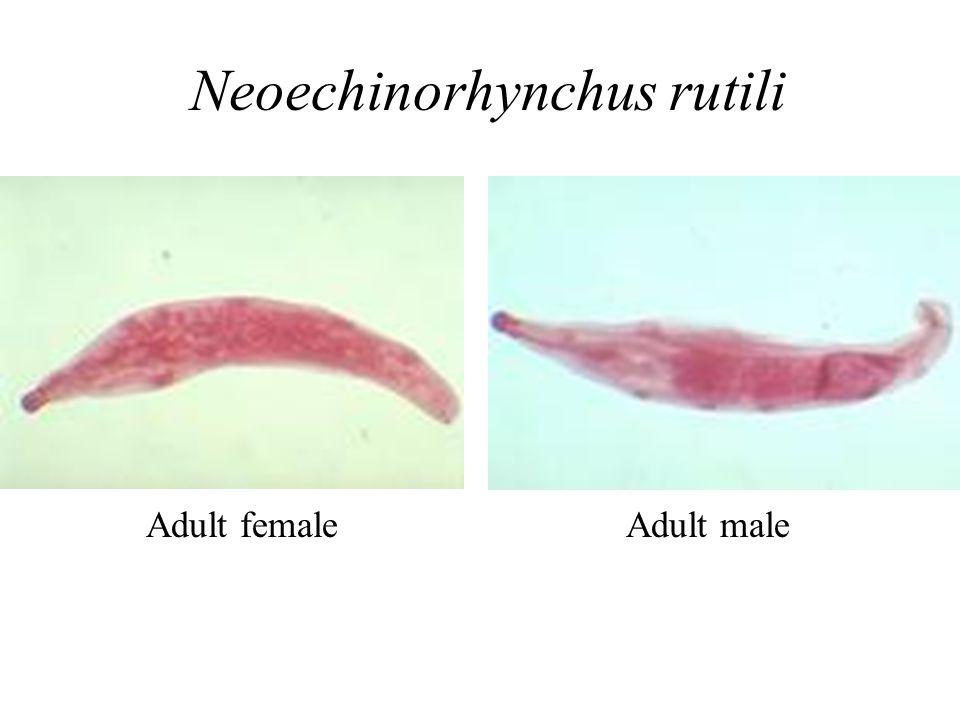 Adult female Neoechinorhynchus rutili Adult male