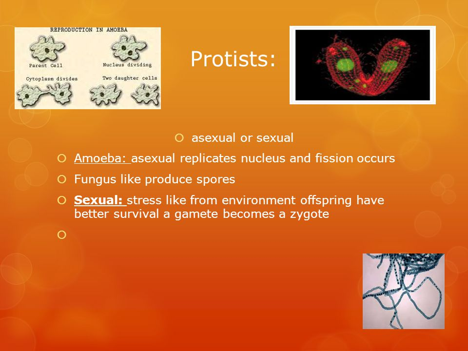 Protists:  asexual or sexual  Amoeba: asexual replicates nucleus and fission occurs  Fungus like produce spores  Sexual: stress like from environment offspring have better survival a gamete becomes a zygote 