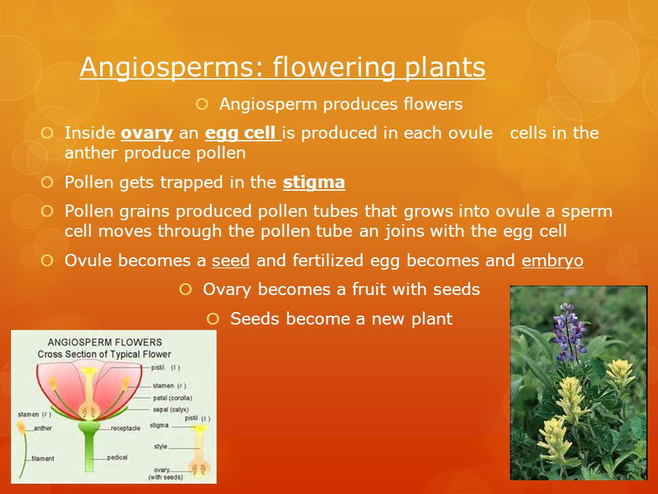 Angiosperms: flowering plants  Angiosperm produces flowers  Inside ovary an egg cell is produced in each ovule cells in the anther produce pollen  Pollen gets trapped in the stigma  Pollen grains produced pollen tubes that grows into ovule a sperm cell moves through the pollen tube an joins with the egg cell  Ovule becomes a seed and fertilized egg becomes and embryo  Ovary becomes a fruit with seeds  Seeds become a new plant