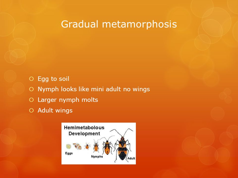 Gradual metamorphosis  Egg to soil  Nymph looks like mini adult no wings  Larger nymph molts  Adult wings