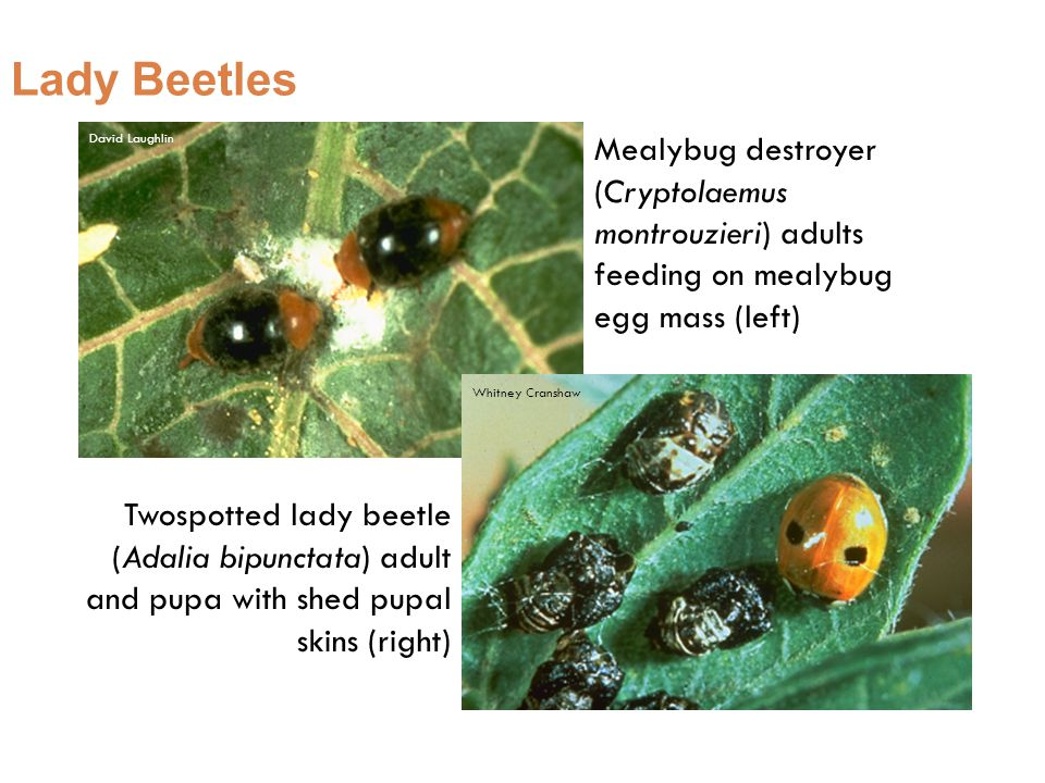 Lady Beetles Mealybug destroyer (Cryptolaemus montrouzieri) adults feeding on mealybug egg mass (left) Twospotted lady beetle (Adalia bipunctata) adult and pupa with shed pupal skins (right) Whitney Cranshaw David Laughlin