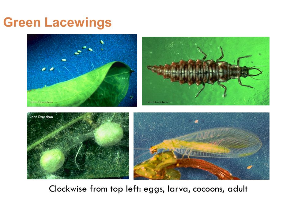 Green Lacewings John Davidson Clockwise from top left: eggs, larva, cocoons, adult John Davidson