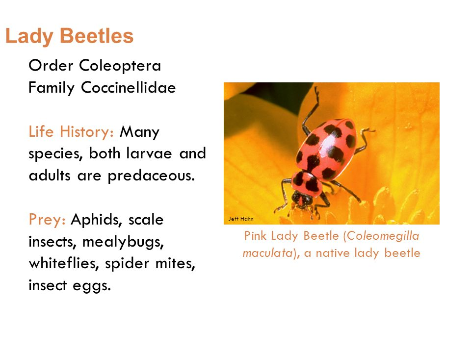 Lady Beetles Order Coleoptera Family Coccinellidae Life History: Many species, both larvae and adults are predaceous.