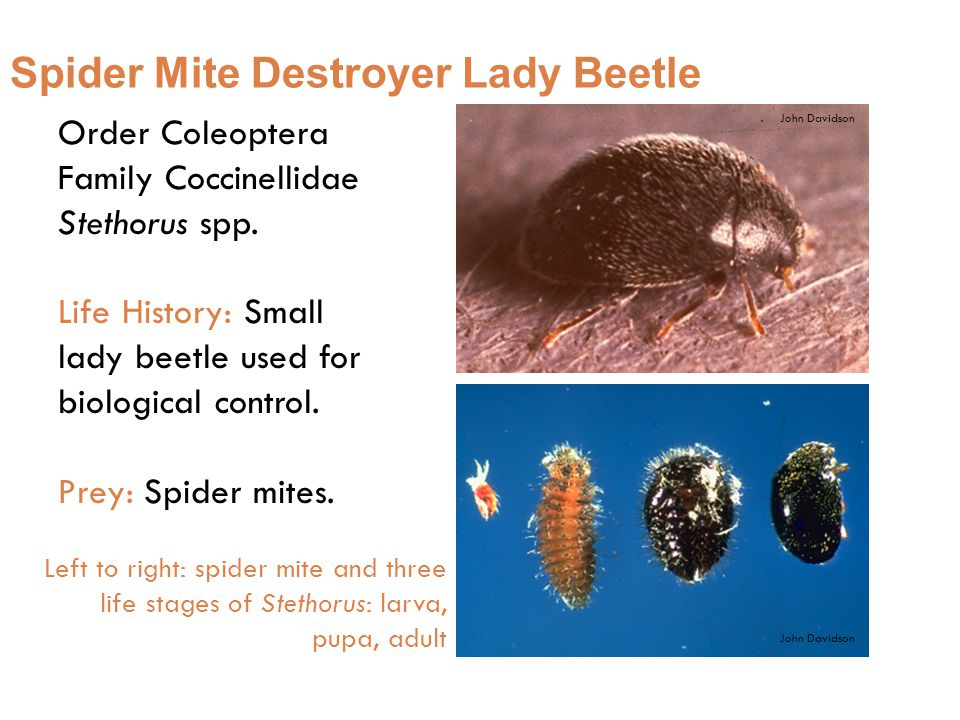 Order Coleoptera Family Coccinellidae Stethorus spp.
