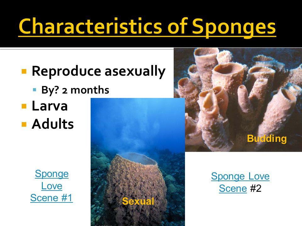  Reproduce asexually  By? 2 months  Larva  Adults Budding Sexual Sponge Love SceneSponge Love Scene #2 Sponge Love Scene #1