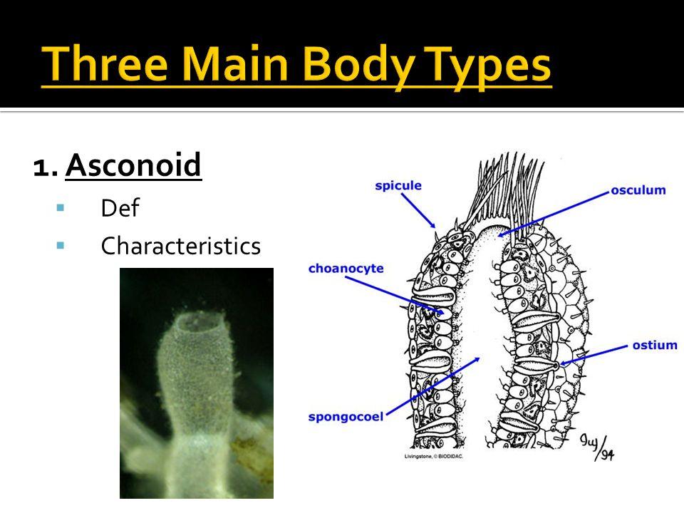 1. Asconoid  Def  Characteristics