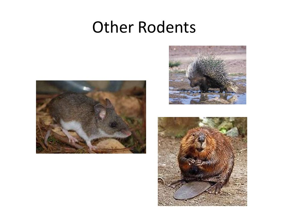 Other Rodents