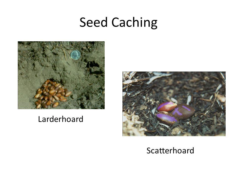 Seed Caching Larderhoard Scatterhoard