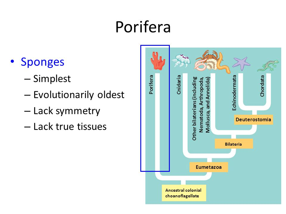 Porifera Sponges – Simplest – Evolutionarily oldest – Lack symmetry – Lack true tissues Ancestral colonial choanoflagellate Eumetazoa Bilateria Deuterostomia Porifera Cnidaria Other bilaterians (including Nematoda, Arthropoda, Mollusca, and Annelida) Echinodermata Chordata