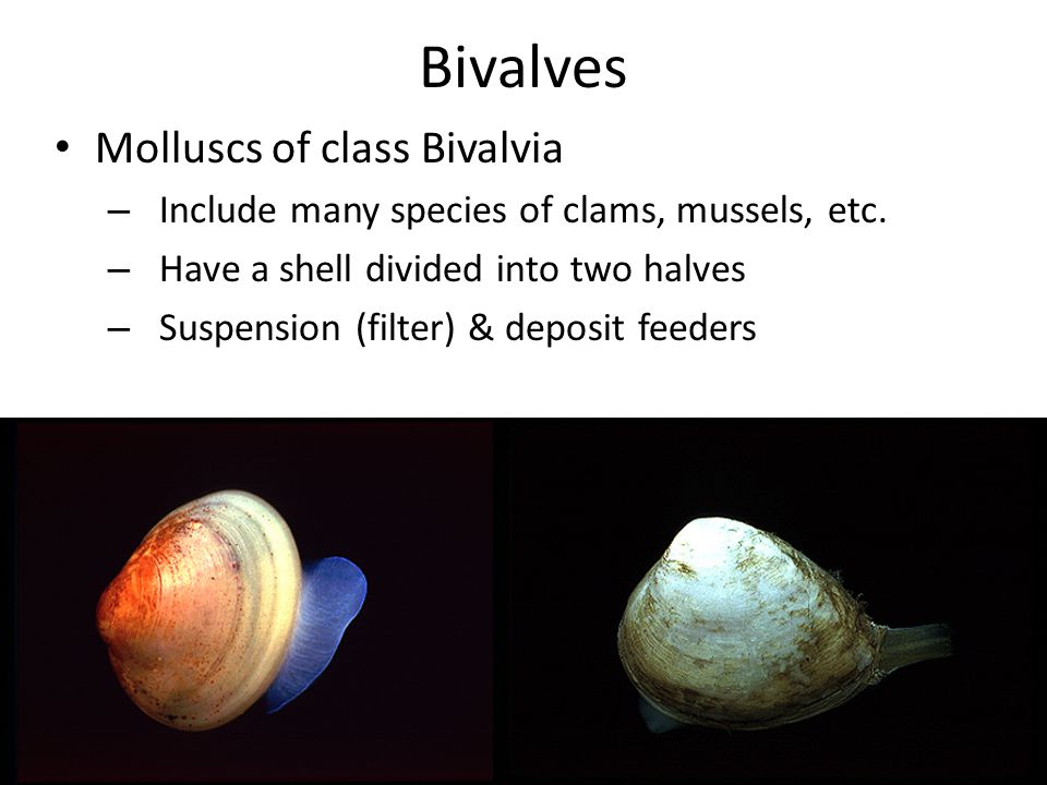 Bivalves Molluscs of class Bivalvia – Include many species of clams, mussels, etc.