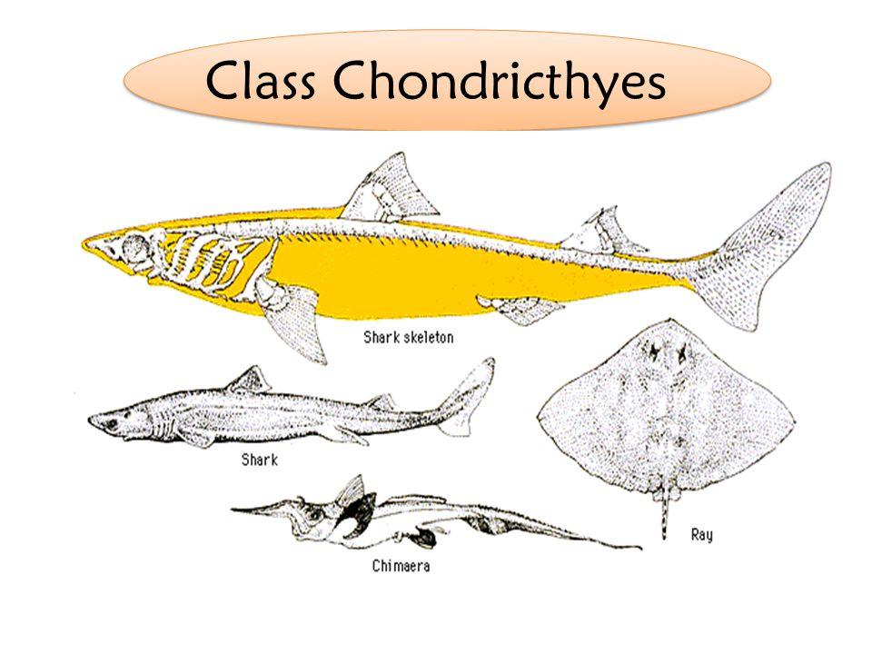 Class Chondricthye s