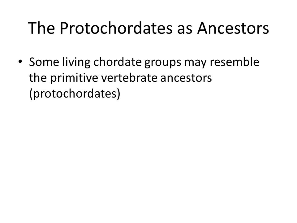 The Protochordates as Ancestors Some living chordate groups may resemble the primitive vertebrate ancestors (protochordates)