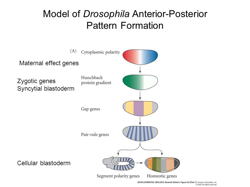 Model of Drosophila Anterior-Posterior Pattern Formation Maternal effect genes Zygotic genes Syncytial blastoderm Cellular blastoderm