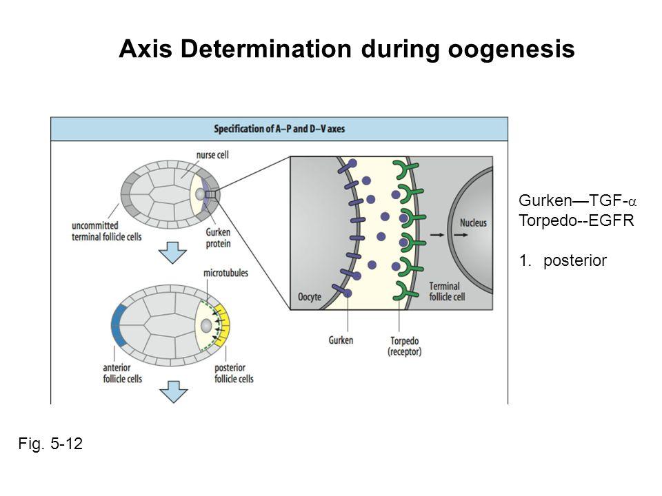 Axis Determination during oogenesis Gurken—TGF-  Torpedo--EGFR 1.posterior Fig. 5-12
