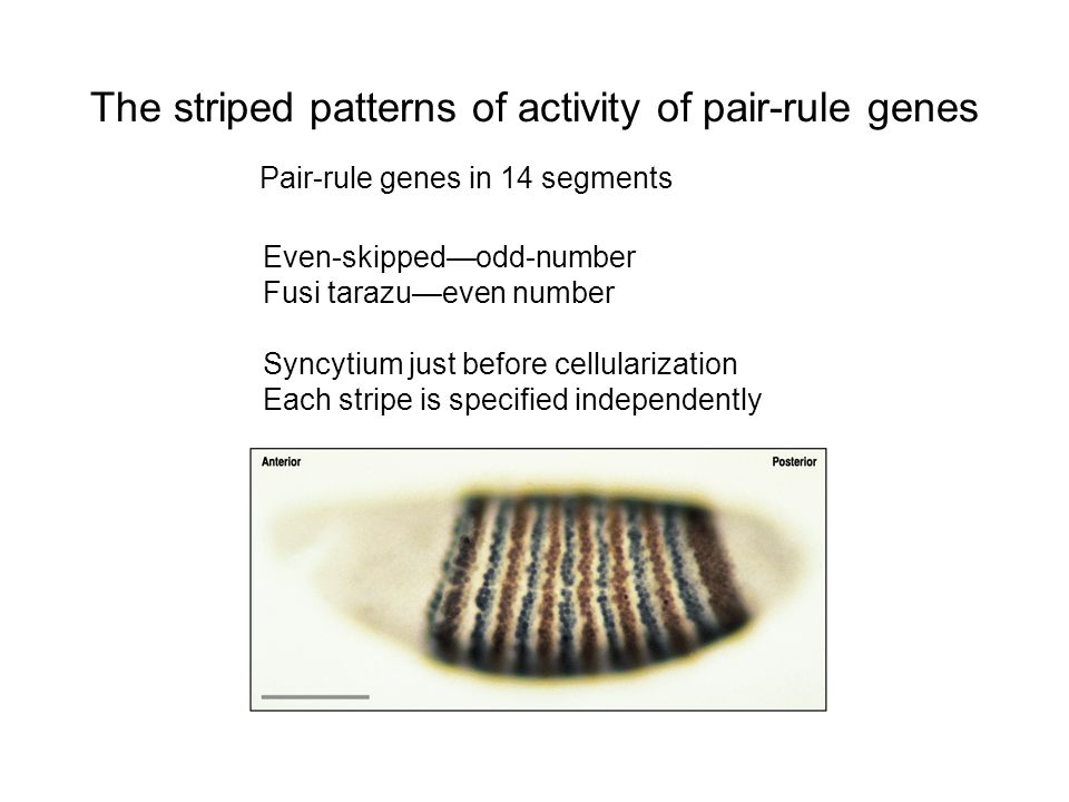 The striped patterns of activity of pair-rule genes Pair-rule genes in 14 segments Even-skipped—odd-number Fusi tarazu—even number Syncytium just before cellularization Each stripe is specified independently