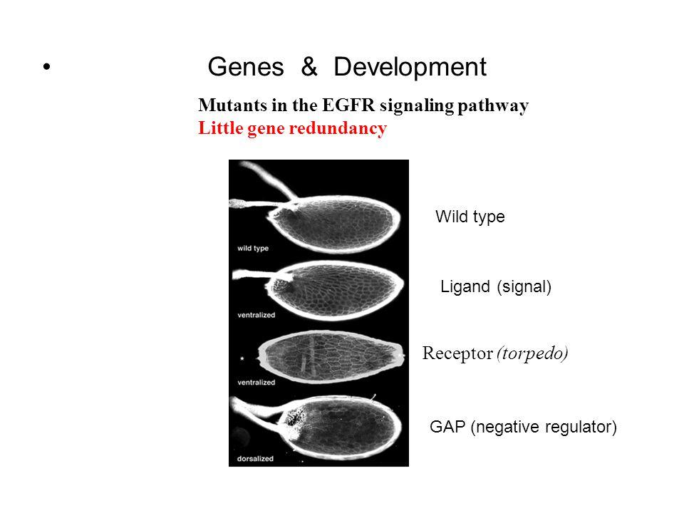 Genes & Development Mutants in the EGFR signaling pathway Little gene redundancy Receptor (torpedo) Wild type Ligand (signal) GAP (negative regulator)