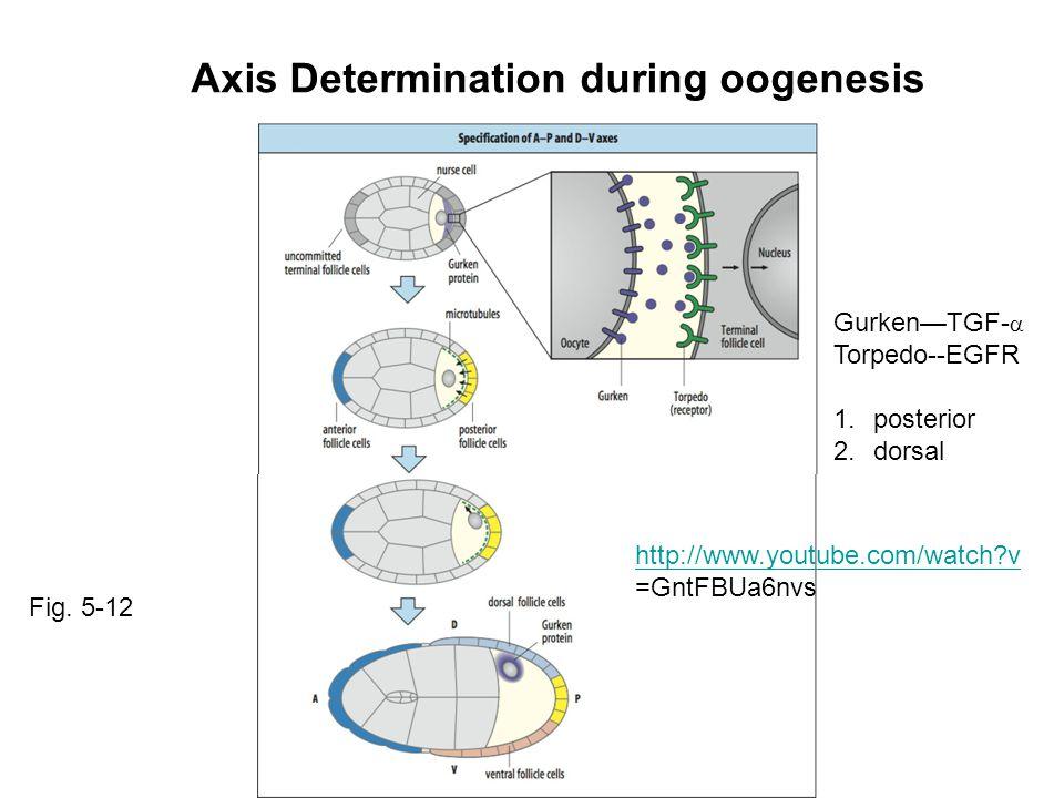 Axis Determination during oogenesis Gurken—TGF-  Torpedo--EGFR 1.posterior 2.dorsal Fig. 5-12 http://www.youtube.com/watch?v =GntFBUa6nvs