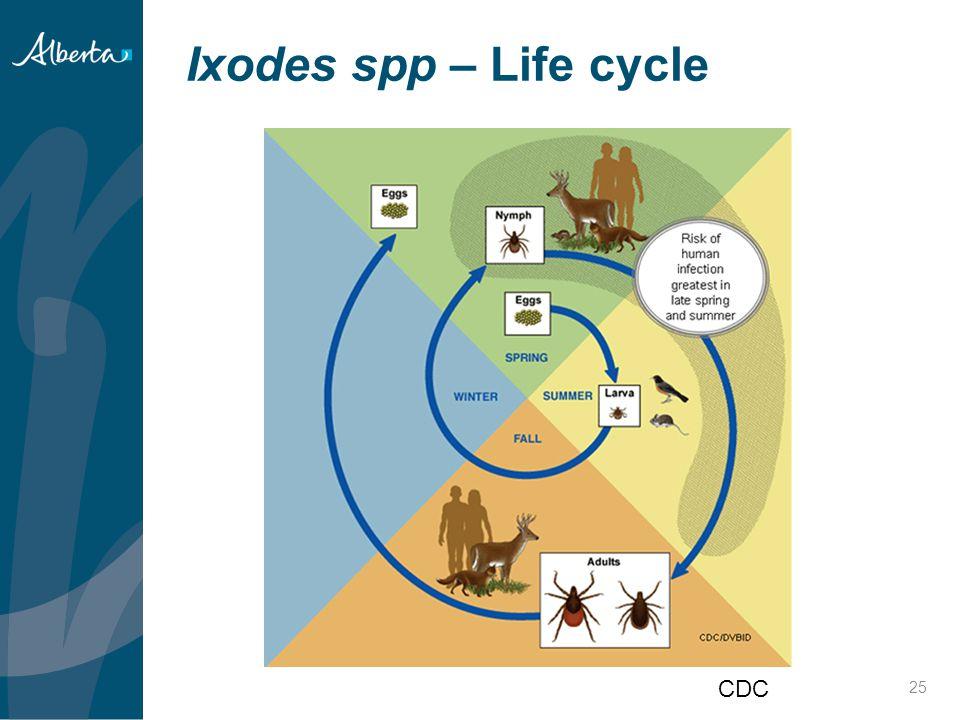 Ixodes spp – Life cycle 25 CDC