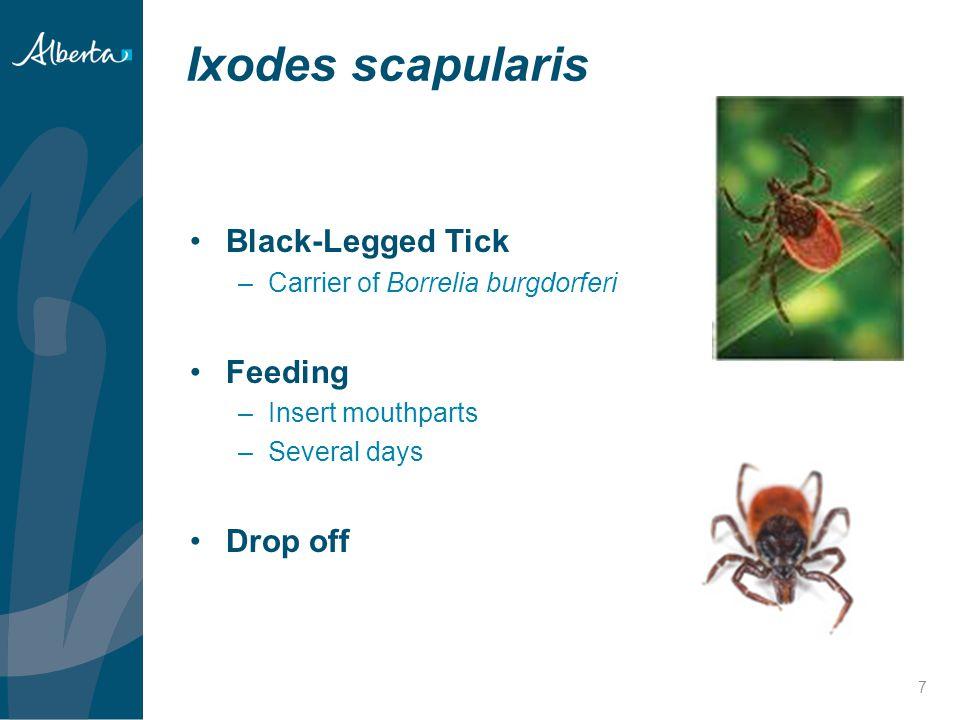 Ixodes scapularis 7 Black-Legged Tick –Carrier of Borrelia burgdorferi Feeding –Insert mouthparts –Several days Drop off