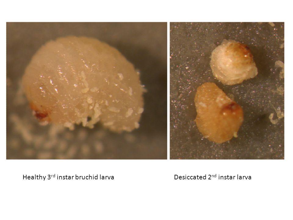 Healthy 3 rd instar bruchid larvaDesiccated 2 nd instar larva