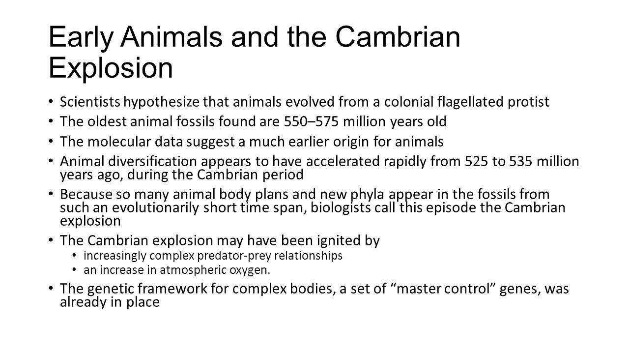 Early Animals and the Cambrian Explosion Scientists hypothesize that animals evolved from a colonial flagellated protist The oldest animal fossils fou