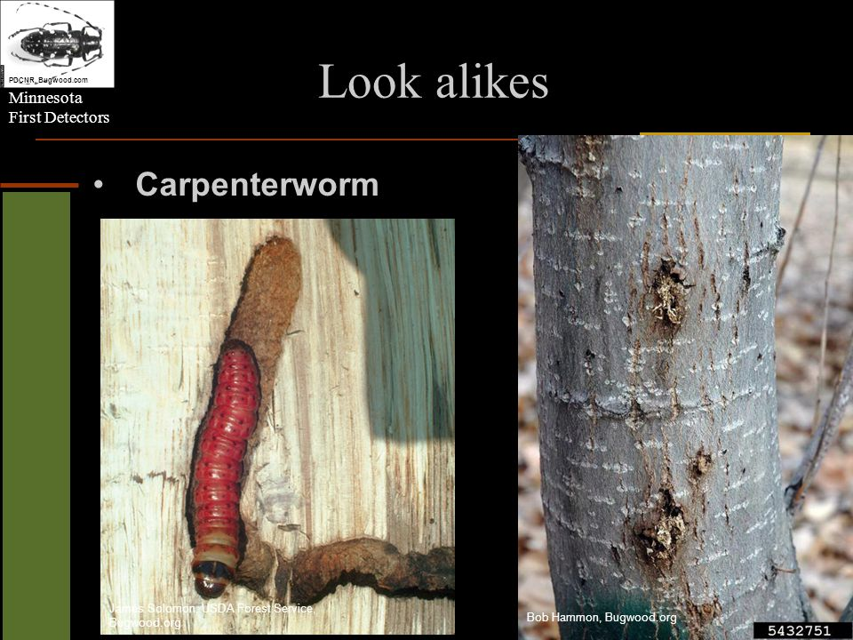 Minnesota First Detectors Look alikes PDCNR, Bugwood.com Sugar Maple Borer Steven Katovich, USDA Forest Service, Bugwood.org James Solomon, USDA Forest Service, Bugwood.org William Fountain, University of Kentucky, Bugwood.org