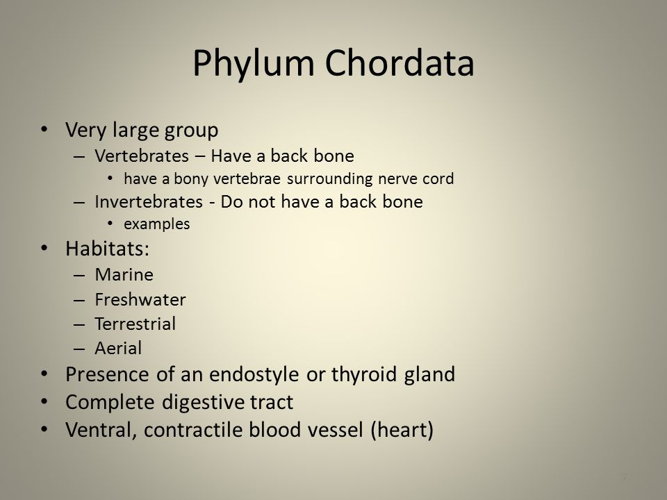 Phylum Chordata 4 Characteristics Seen in all Chordates at some point of their life: 1.Notochord back cord a.a dorsal rod, with a sheath of connective tissue 2.Pharyngeal Slits a.allow water to pass from pharynx to outside/ b.filter feeding mechanism 3.Dorsal Tubular Nerve cord 4.Post-anal tail 8