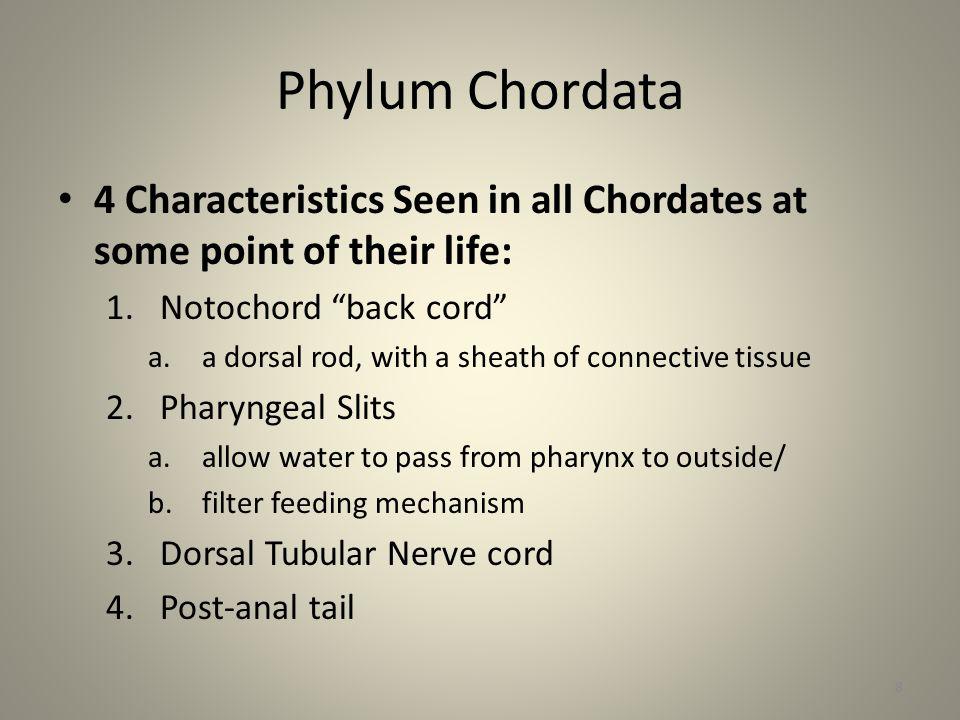 Phylum: Chordata Invertebrate Chordates – Do not have a bony vertebrae – Sub Phylum: Urochordata Tunicates (sea squirts) – Sub Phylum: Cephalochordata Lancelets 9