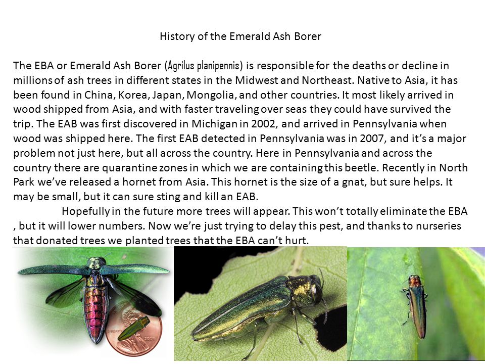 History of the Emerald Ash Borer The EBA or Emerald Ash Borer ( Agrilus planipennis ) is responsible for the deaths or decline in millions of ash trees in different states in the Midwest and Northeast.