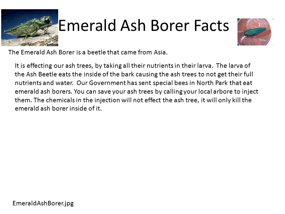 Emerald Ash Borer Facts EmeraldAshBorer.jpg The Emerald Ash Borer is a beetle that came from Asia.