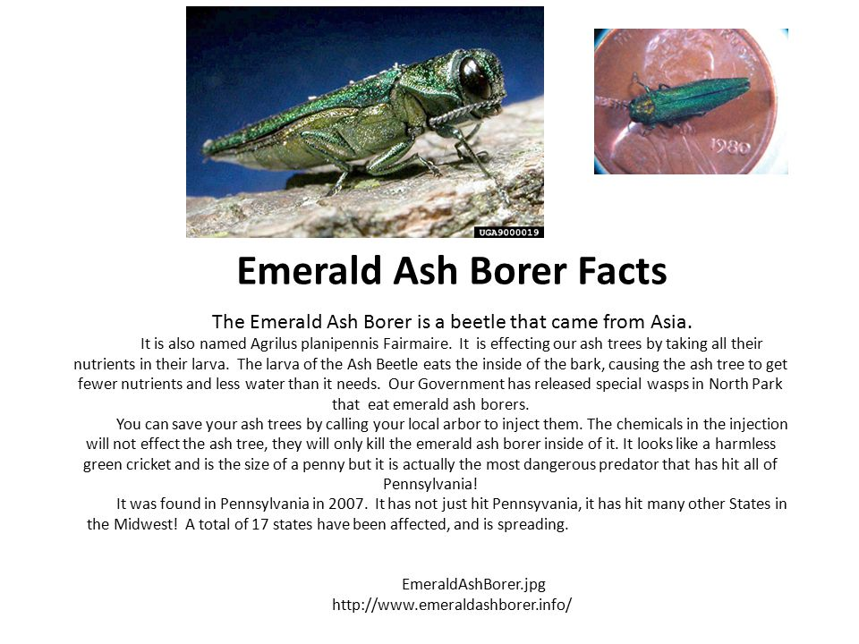 Emerald Ash Borer Facts The Emerald Ash Borer is a beetle that came from Asia.