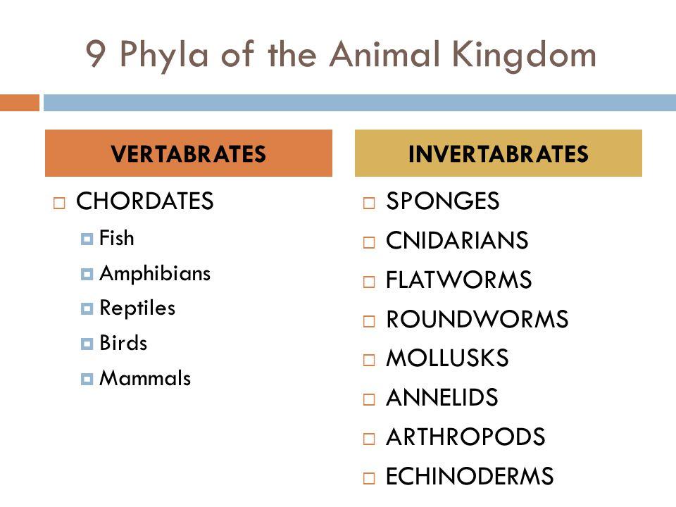 9 Phyla of the Animal Kingdom  CHORDATES  Fish  Amphibians  Reptiles  Birds  Mammals  SPONGES  CNIDARIANS  FLATWORMS  ROUNDWORMS  MOLLUSKS  ANNELIDS  ARTHROPODS  ECHINODERMS VERTABRATESINVERTABRATES
