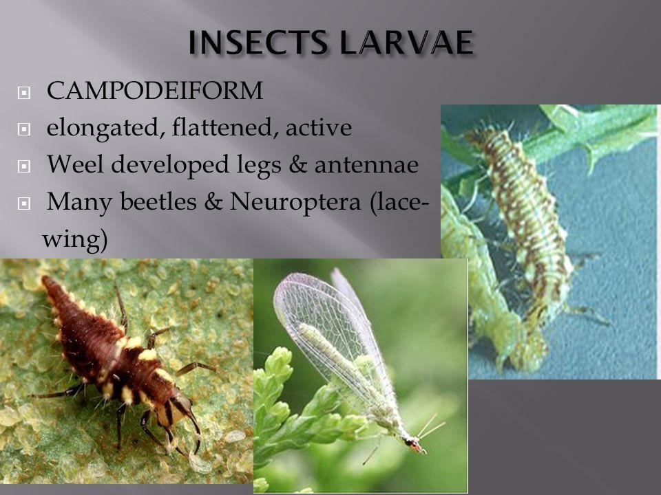  CAMPODEIFORM  elongated, flattened, active  Weel developed legs & antennae  Many beetles & Neuroptera (lace- wing)