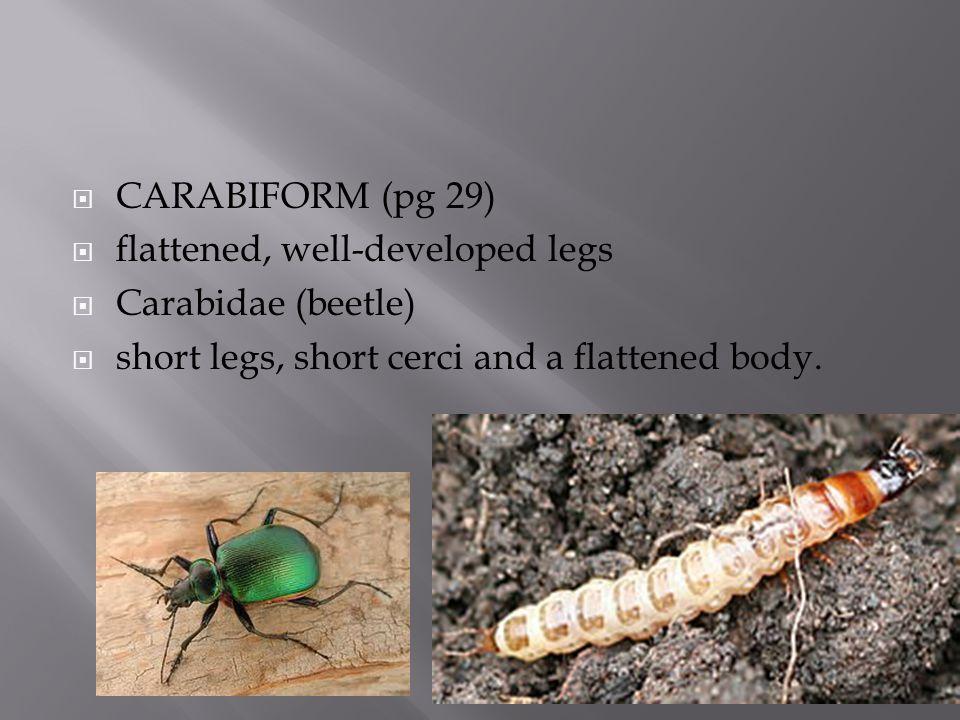  CARABIFORM (pg 29)  flattened, well-developed legs  Carabidae (beetle)  short legs, short cerci and a flattened body.