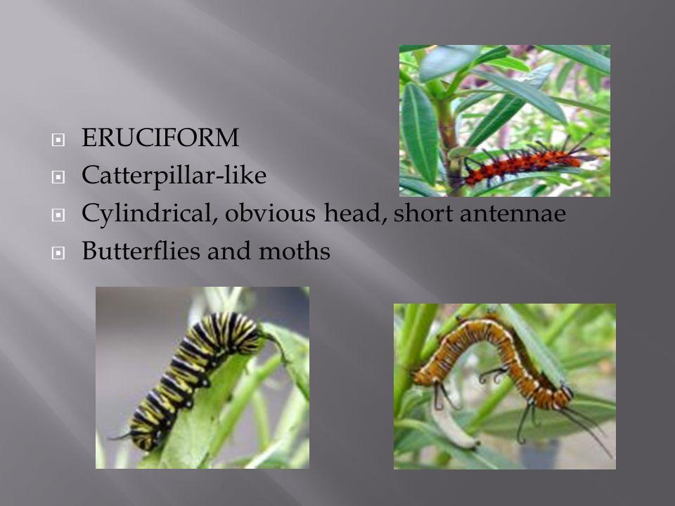  ERUCIFORM  Catterpillar-like  Cylindrical, obvious head, short antennae  Butterflies and moths
