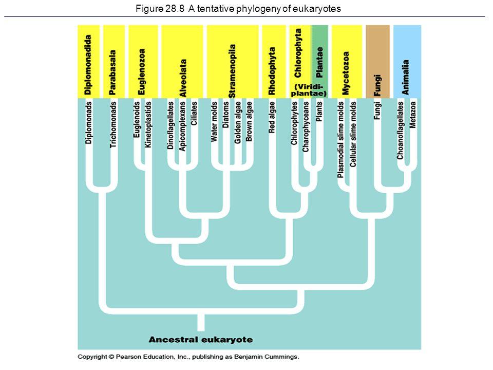 Figure 28.8 A tentative phylogeny of eukaryotes