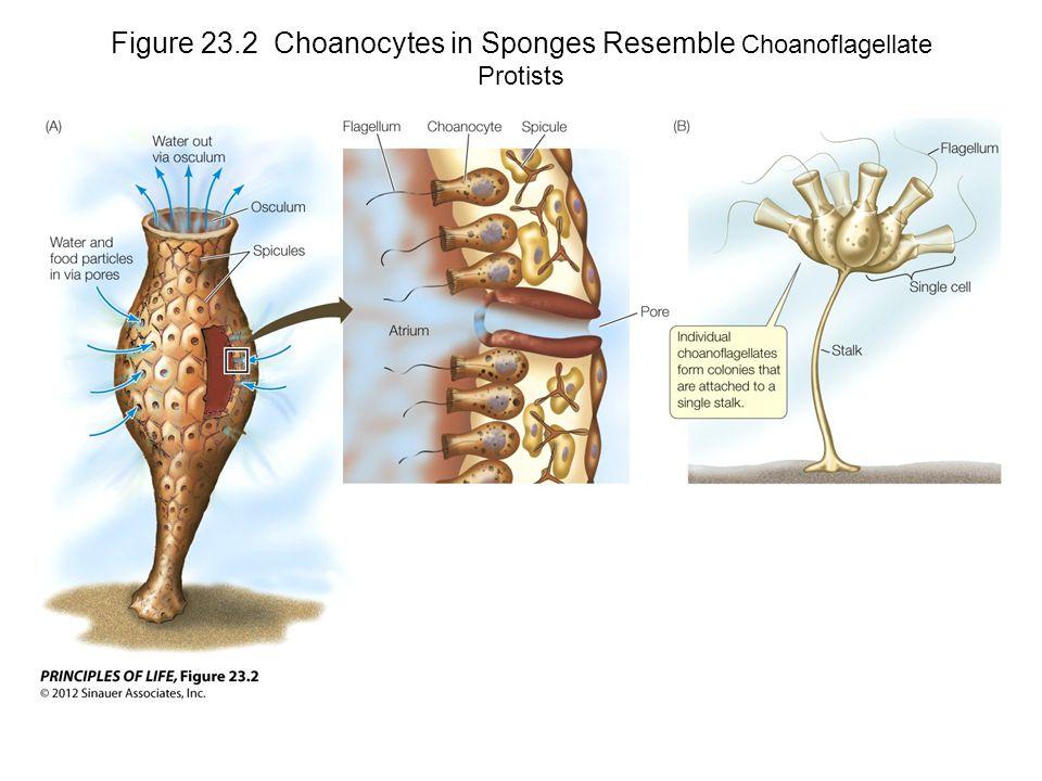 Figure 23.2 Choanocytes in Sponges Resemble Choanoflagellate Protists