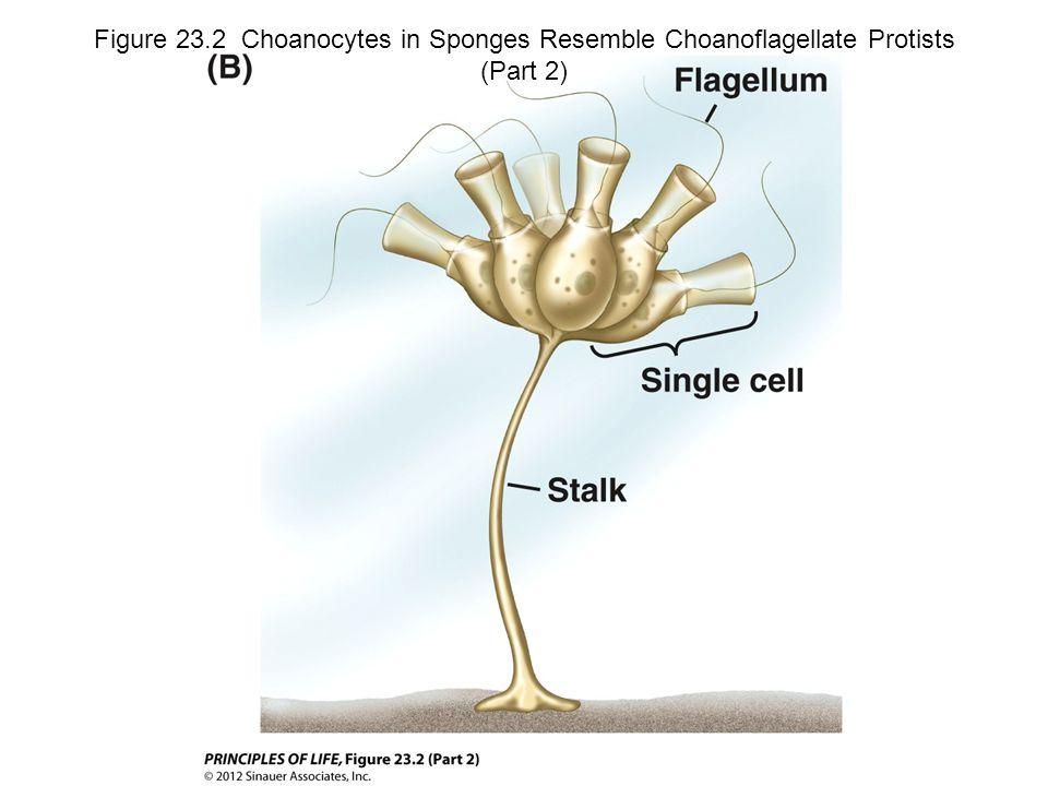 Figure 23.2 Choanocytes in Sponges Resemble Choanoflagellate Protists (Part 2)